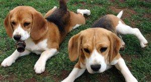 Beagles rescued