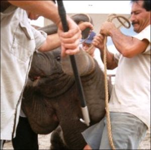 Bullhook being used on an elephant. Photo by PETA