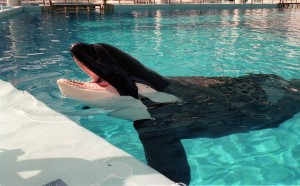 Tilikum (c. November 1981 – January 6, 2017)