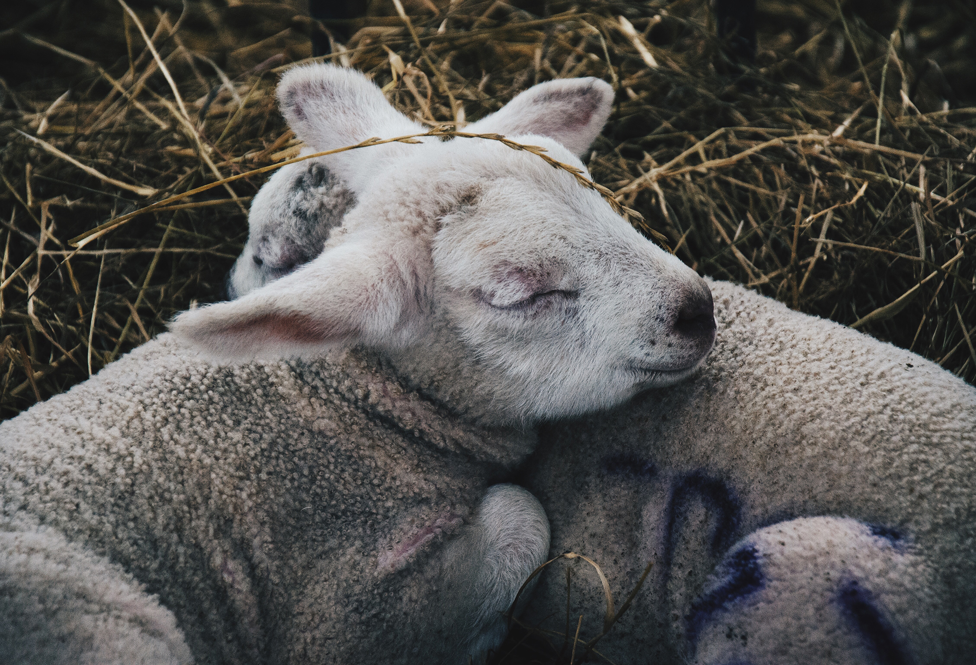 Two-lambs